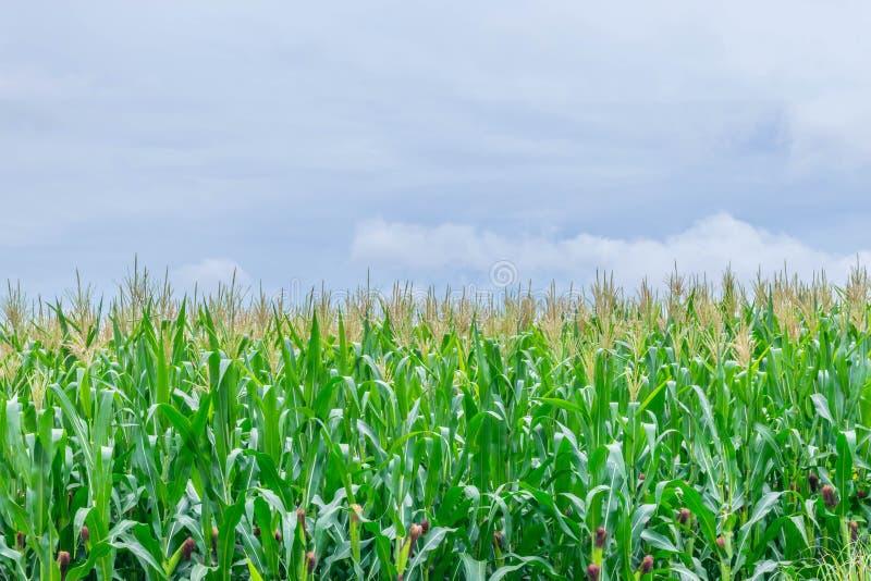 Il fuoco molle di cereale, il granturco, il mais, lo zea mays, le poaceae, il Gramineae, il campo della pianta con il cielo blu e immagini stock
