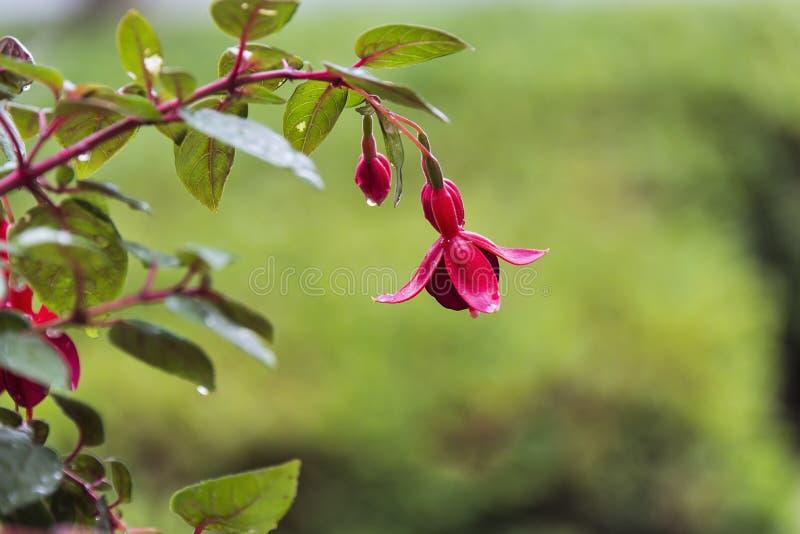 Il fuoco selettivo è stato usato su questa fioritura fucsia coperta pioggia fotografia stock libera da diritti