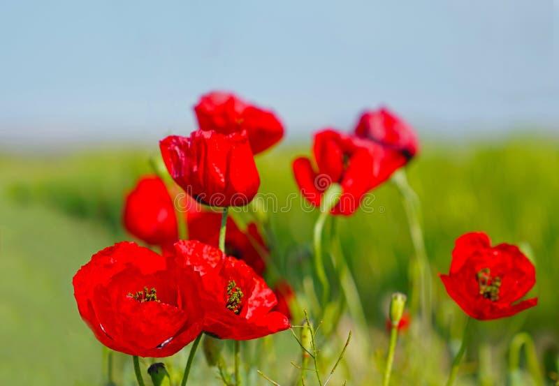 Il fuoco selettivo dei papaveri rossi fiorisce il fiore sul campo selvaggio fotografia stock