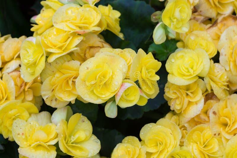 Il fuoco selettivo della begonia variopinta fiorisce con lo spruzzo d'acqua, Se immagini stock libere da diritti