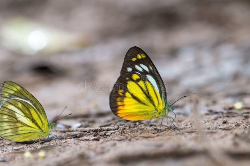 Il gabbiano arancio una bella farfalla della foresta fotografia stock