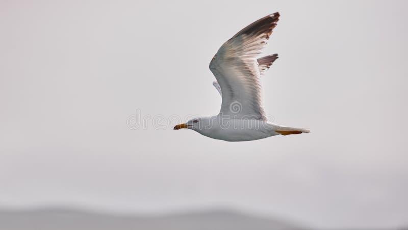 Download Il Gabbiano Bianco Sale Volo Contro Lo Sfondo Del Cielo Blu, Delle Nuvole E Delle Montagne Il Gabbiano Sta Volando A Sinistra Immagine Stock - Immagine di uccello, oceanico: 117978095
