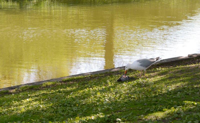 Il gabbiano con un becco sanguinoso mangia un piccione morto immagini stock libere da diritti