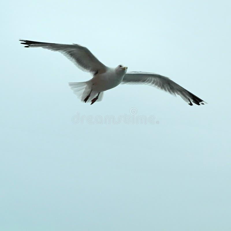 Il gabbiano del Laridae traversa in volo spalancato volando immagini stock