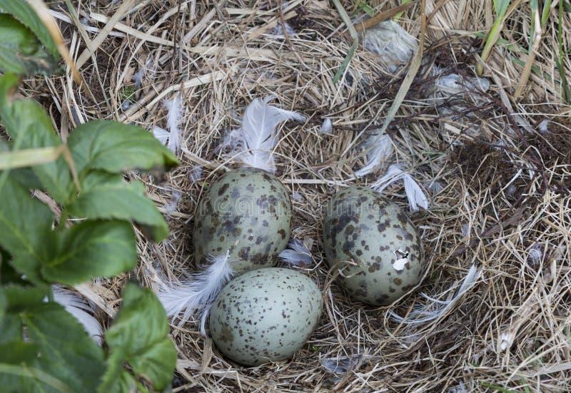 Il gabbiano eggs in un nido su un'isola nel mar Bianco, un pulcino già ha rotto le coperture dell'uovo fotografia stock libera da diritti