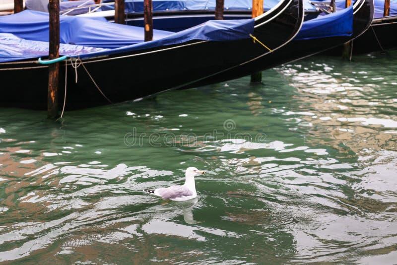 Il gabbiano galleggia vicino alla gondola in Grand Canal immagine stock