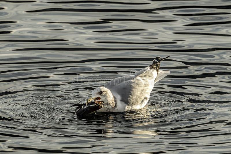 Il gabbiano ha pesce in suo becco fotografia stock libera da diritti