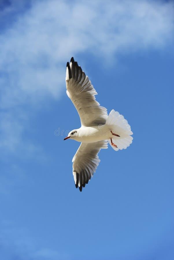 Il gabbiano nel cielo con le ali diffuse fotografia stock