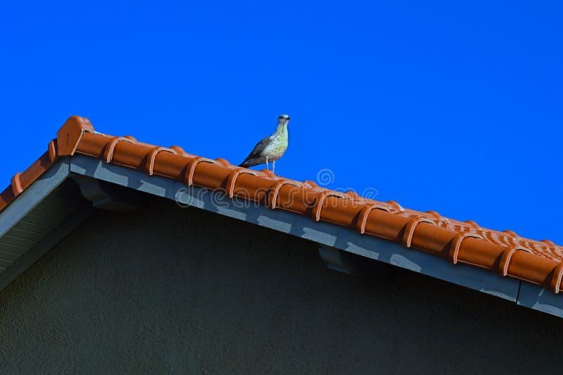 Il gabbiano si siede sul tetto immagini stock libere da diritti
