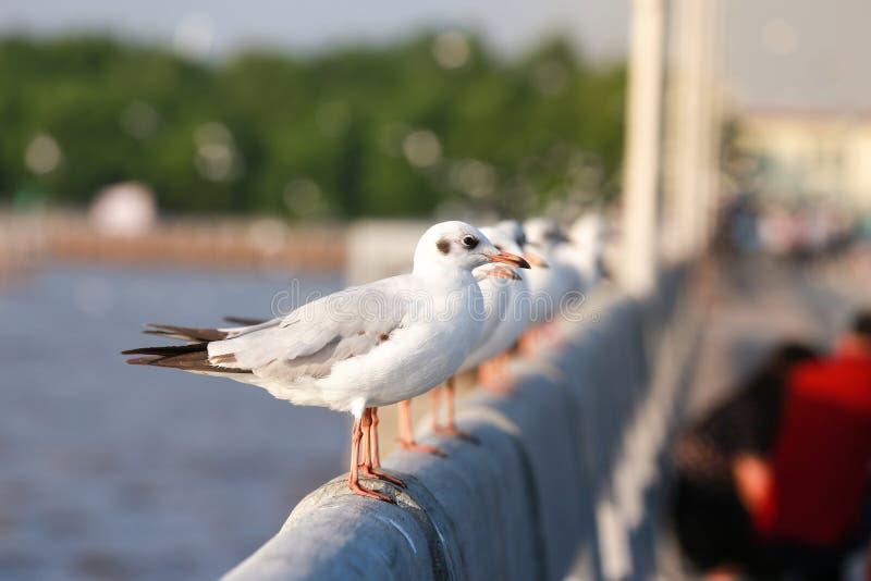 Il gabbiano sta stando su una ferrovia del cemento bianco del ponte sopra il mare fotografia stock libera da diritti