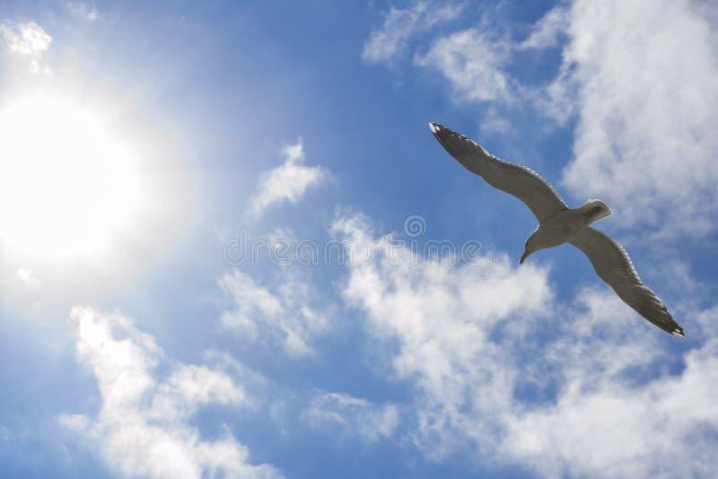 Il gabbiano vola verso il sole su cielo blu fotografia stock