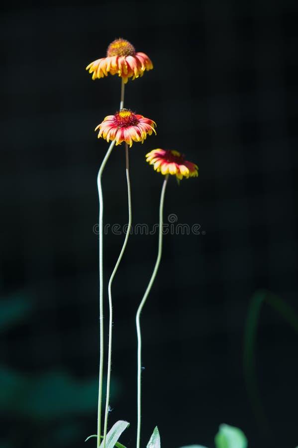 Il Gaillardia, Gaillardia è un genere delle angiosperme in fotografia stock