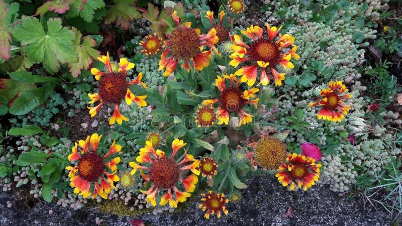 Il Gaillardia, Gaillardia, fanfara generale indiana fiorisce il fiore fotografie stock