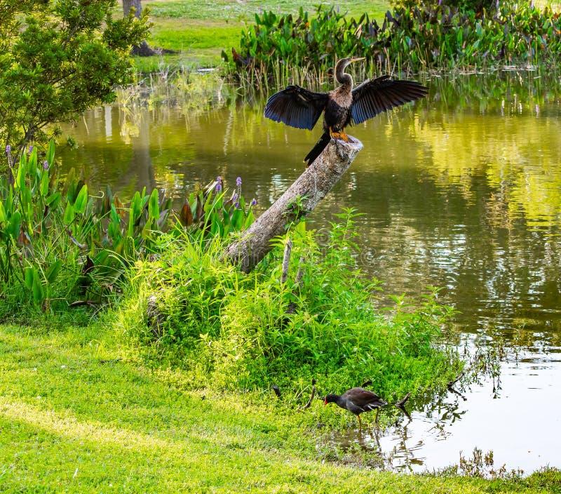 Il Gallinule comune ed il Anhinga fotografie stock