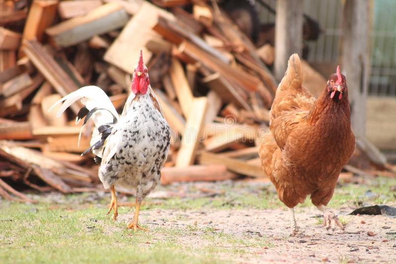 Il gallo e la passeggiata del pollo dall'azienda agricola immagini stock libere da diritti