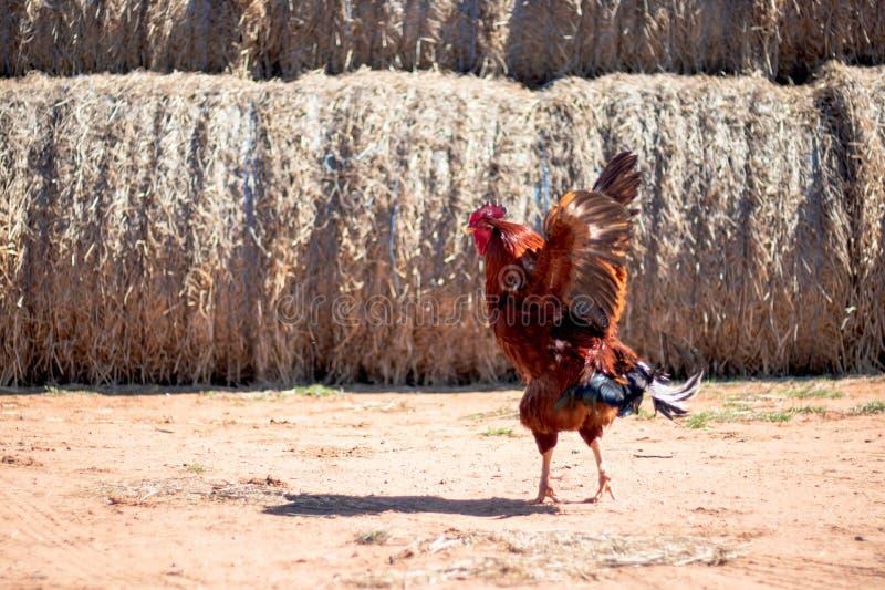 Il gallo variopinto sta ballando sulla sabbia nell'azienda agricola immagini stock libere da diritti