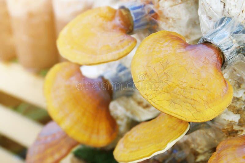 Il ganoderma lucidum, Lingzhi si espande rapidamente nell'azienda agricola di coltivazione fotografia stock