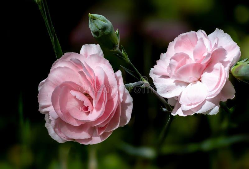 Il garofano è aumentato rosa su fondo verde fotografia stock