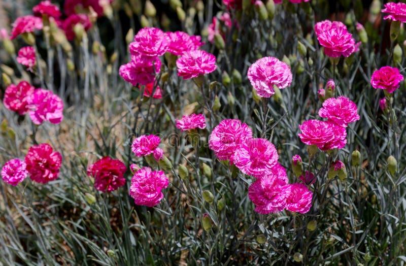 Il garofano si sviluppa in giardino immagine stock
