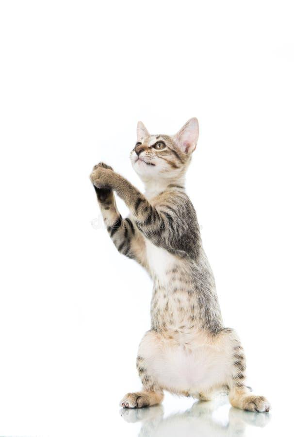 Il gattino allegro del toyger sta sulla mano di manifestazione isolata fotografie stock libere da diritti