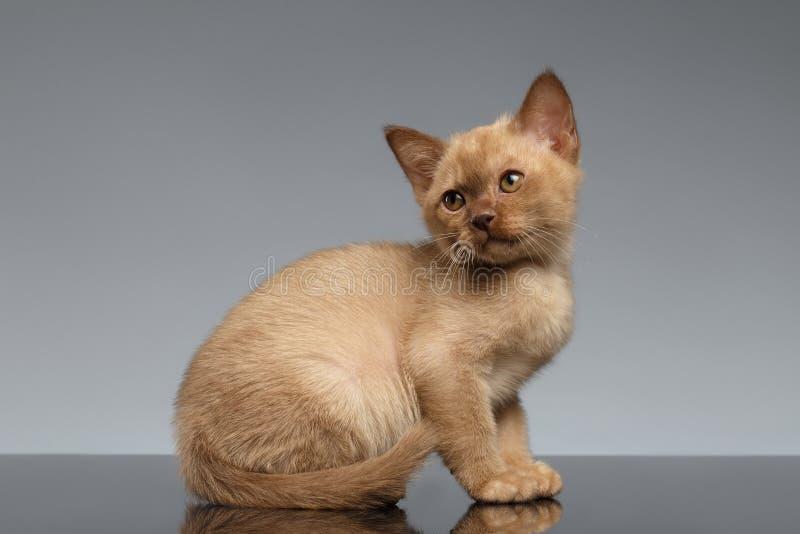 Il gattino birmano si siede e cercando su Gray fotografie stock libere da diritti