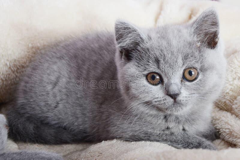 il gattino britannico grigio sta riposando immagine stock libera da diritti
