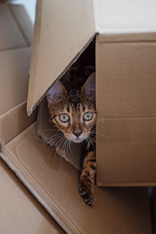 Il gattino del Bengala guarda dalla scatola di cartone immagini stock libere da diritti