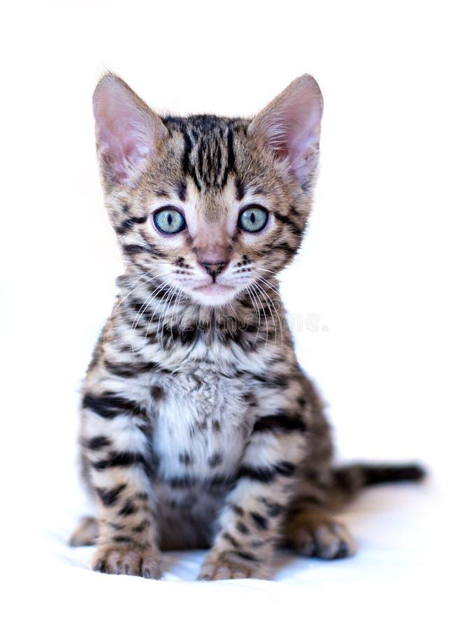 Il gattino del Bengala si siede immagine stock