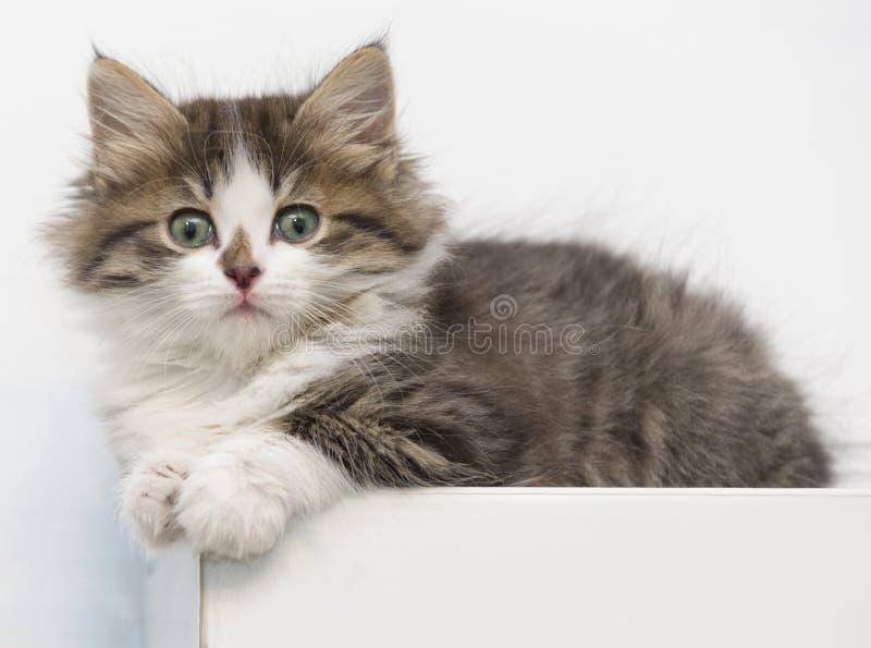 Il gattino del gatto pets domestico fotografia stock libera da diritti
