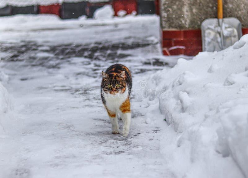 Il gattino domestico cammina su pavimentazione Il gatto sveglio funziona in neve Fronte serio del gatto negli orari invernali La  fotografia stock