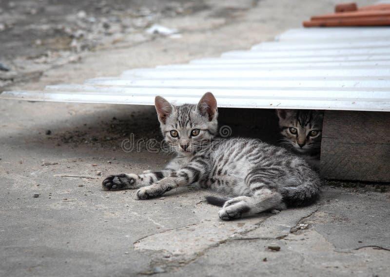 Il gattino grigio adorabile si sta riposando fotografia stock