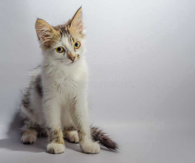 Il gattino macchiato dall'occhio giallo bianco si siede su uno sguardo leggero del fondo fotografia stock