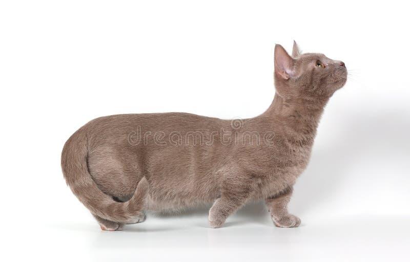 Il gattino-munchkin immagine stock