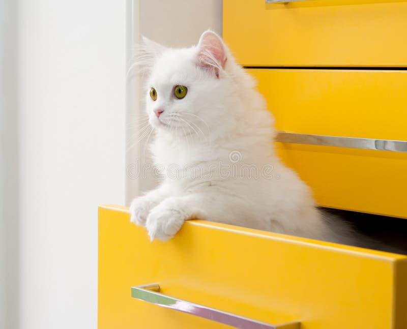 Il gattino persiano bianco dà una occhiata a dal gabinetto giallo del cassetto fotografia stock