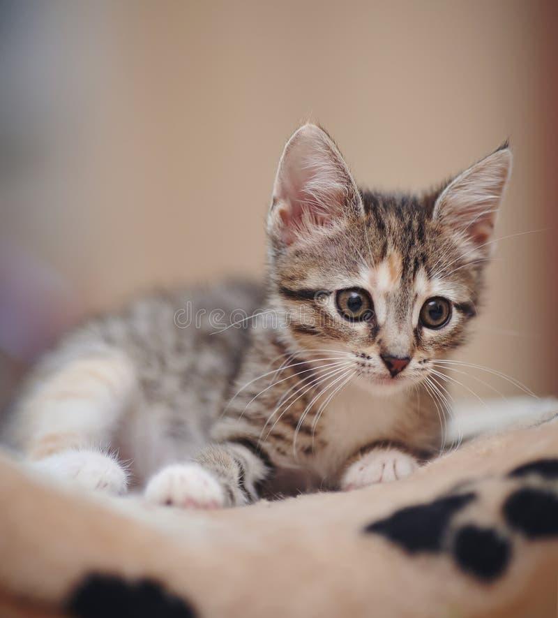 Il gattino piacevole a strisce immagini stock libere da diritti
