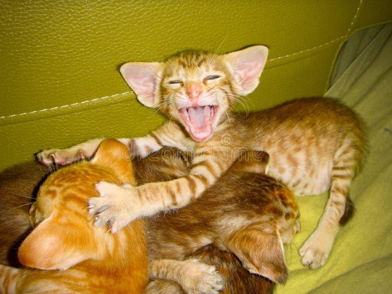 Il gattino rosso della razza orientale sporge querela alla mamma circa cui hanno visto e contato fotografia stock