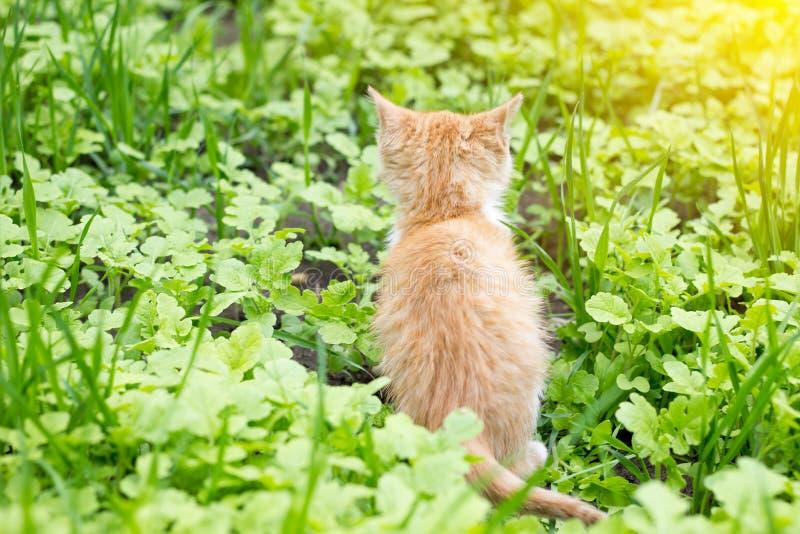 Il gattino rosso si siede indietro dentro fotografia stock