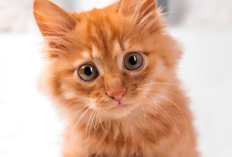 Il gattino rosso su un fondo bianco gioca le bugie di sguardi immagine stock libera da diritti