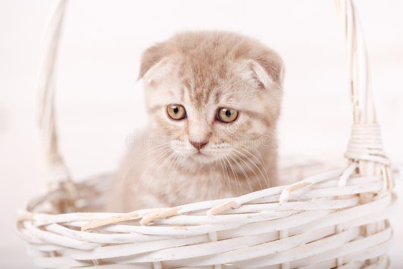 Il gattino scozzese color crema addolorato guarda dal canestro di vimini fotografia stock libera da diritti