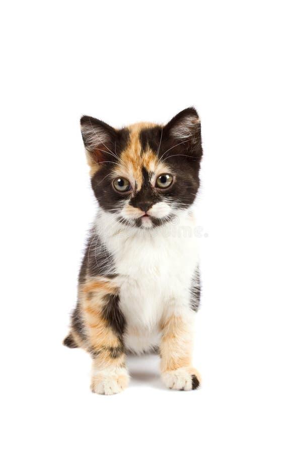 Il gattino si siede fotografia stock