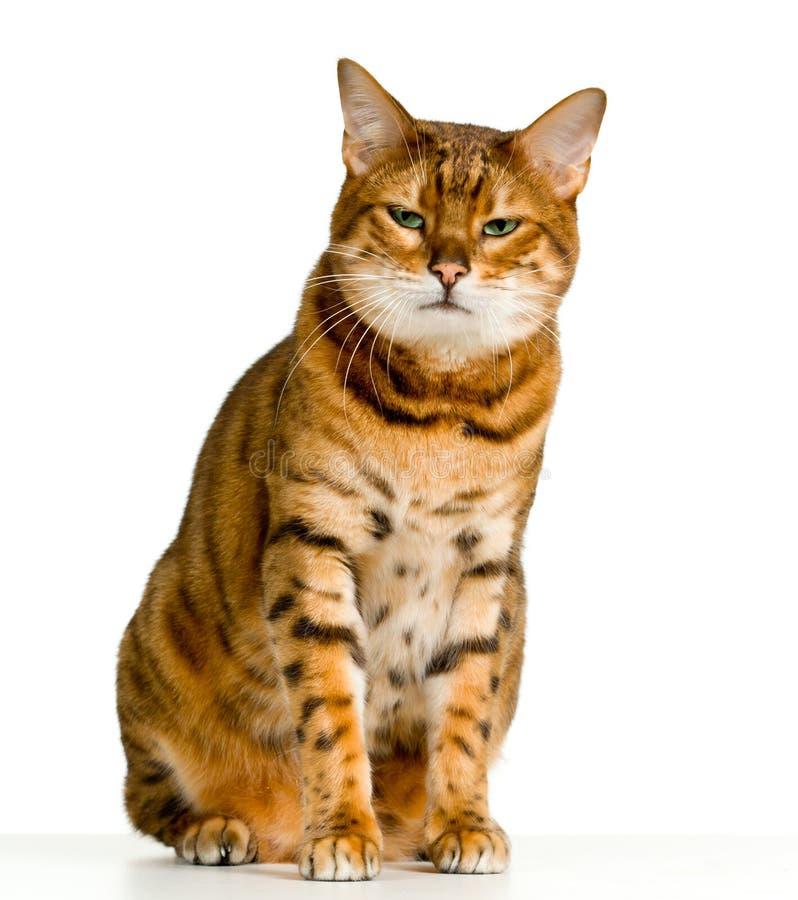 Il gattino sveglio del Bengala sembra arrabbiato immagini stock