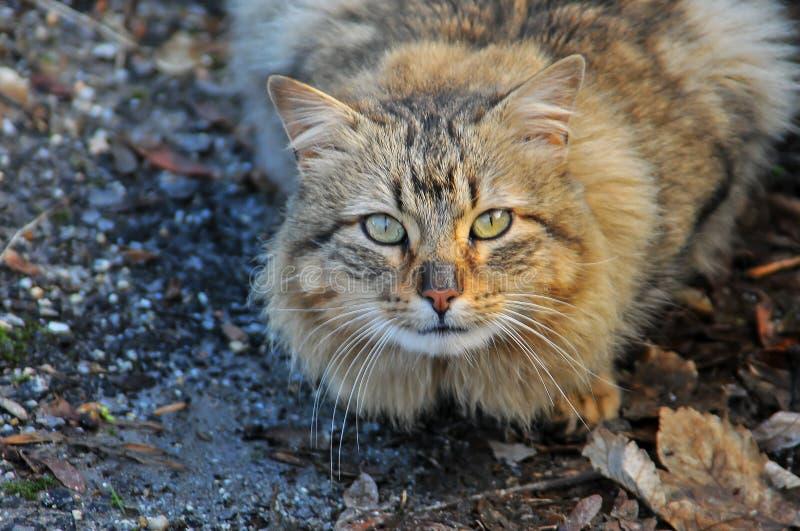 Il gatto è un animale della famiglia dei felines fotografia stock libera da diritti