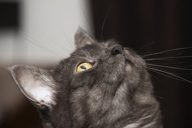 Il gatto è un animale della famiglia dei felines, molto popolare come animale domestico fotografie stock