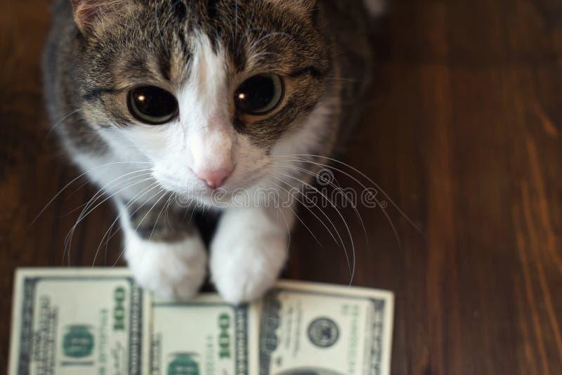 Il gatto adorabile tiene le banconote del dollaro con le sue zampe e esamina la macchina fotografica con i suoi grandi occhi immagini stock