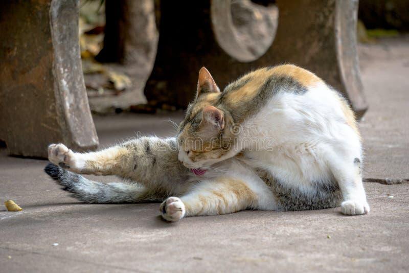 Il gatto arancio e bianco indica sulla via e lecca il suo corpo fotografia stock libera da diritti