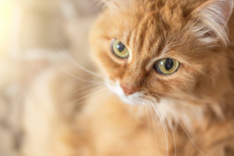 Il gatto arancio lanuginoso sveglio con i grandi occhi esamina la macchina fotografica, spazio della copia immagine stock