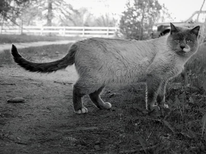 il gatto assomiglia al leone fotografia stock