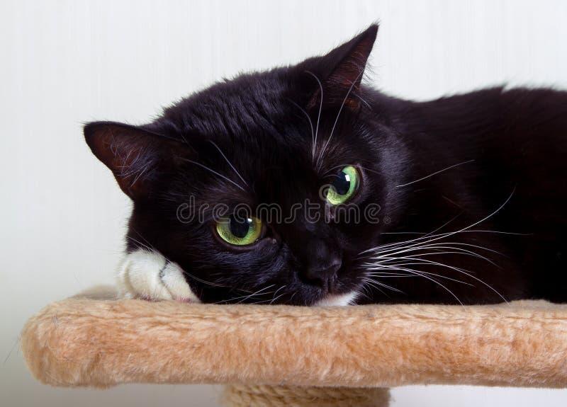 Il gatto in bianco e nero ha messo la sua zampa nell'ambito della sua testa fotografia stock libera da diritti