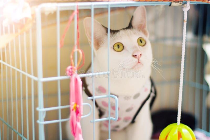 Il gatto bianco gode di e sedendosi in scatola della gabbia fotografie stock libere da diritti
