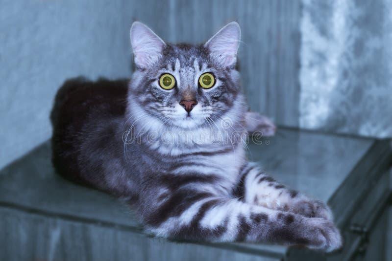 Il gatto blu d'argento Kurilian taglia la coda a bello, splendido immagine stock libera da diritti